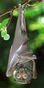 bat_hangs_upside_down