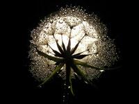J13-dandelion