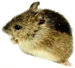 J15A14-mouse