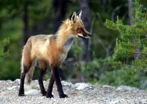 J15A8-fox