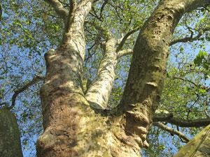 chelm-tree
