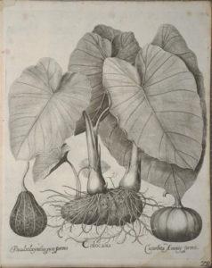 Cocoyams by Basilius Besler,1640