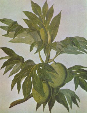 Breadfruit by John Frederick Miller