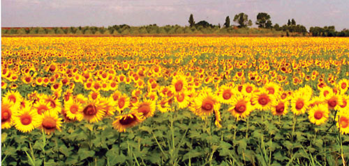 j16a16-sunflowers