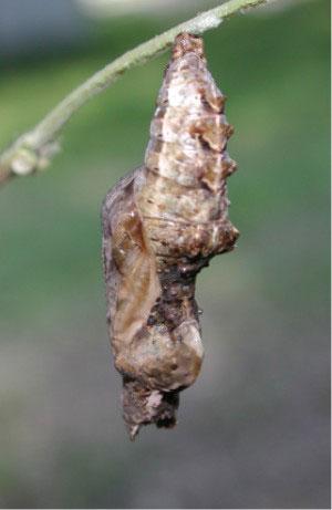 j16a8-chrysalis