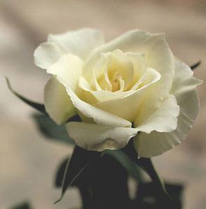 j16a8-rose